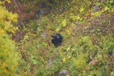 知床半島のヒグマの画像103