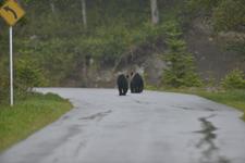 知床半島のヒグマの画像128