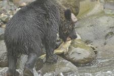 知床半島のヒグマの画像171