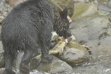 知床半島のヒグマの画像172