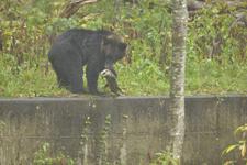 知床半島のヒグマの画像182