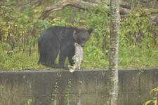 知床半島のヒグマの画像184