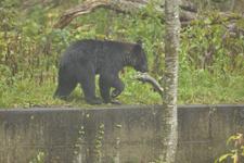 知床半島のヒグマの画像185