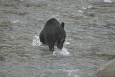 知床半島のヒグマの画像192