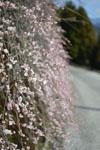 高知の梅の花の画像001
