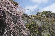 高知の梅の花の画像002