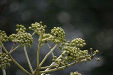 ヤツデの花の画像002