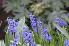 ヒアシンスの花の画像002