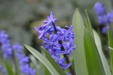 ヒアシンスの花の画像003