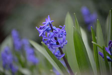 ヒアシンスの花の画像004