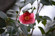 ツバキの花の画像004