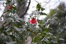 ツバキの花の画像005