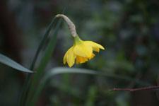 黄色い水仙の花の画像010