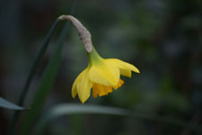 黄色い水仙の花の画像012