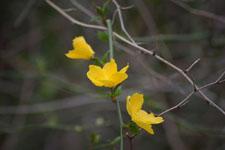ヤマブキソウの花の画像007