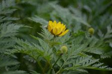 菊の花の画像001