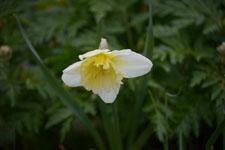 白い水仙の花の画像001
