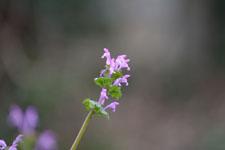 ホトケノザの花の画像001