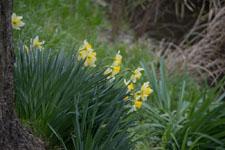 白い水仙の花の画像002