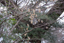木に巻き付く自然薯のツルの画像001