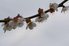 玉川上水緑道の白梅の画像009