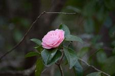 ツバキの花の画像001