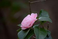 ツバキの花の画像002