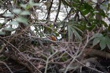井の頭恩賜公園のカワセミの画像001
