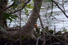 井の頭恩賜公園のカワセミの画像002
