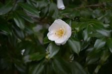 ツバキの花の画像003