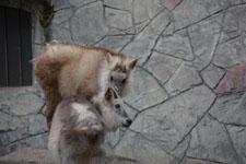 井の頭自然文化園のニホンカモシカの画像001