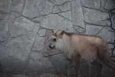 井の頭自然文化園のニホンカモシカの画像002
