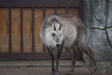 井の頭自然文化園のニホンカモシカの画像003