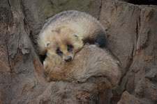 井の頭自然文化園のニホンアナグマの画像002