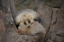 井の頭自然文化園のニホンアナグマの画像003