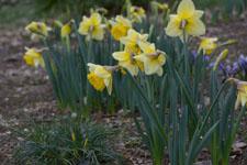 黄色い水仙の花の画像013