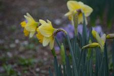 黄色い水仙の花の画像014