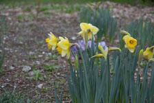 黄色い水仙の花の画像015