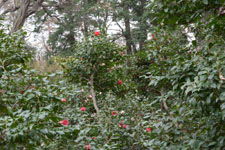 井の頭自然文化園のツバキの画像006