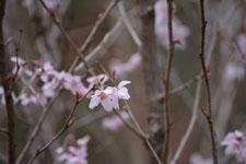 井の頭自然文化園の桜の画像001