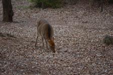 井の頭自然文化園のニホンシカの画像002