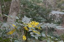 井の頭自然文化園のヒイラギナンテンの画像003
