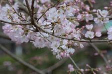 井の頭自然文化園の桜の画像002