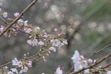 井の頭自然文化園の桜の画像003