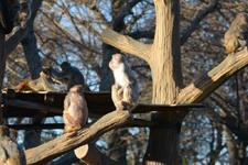 井の頭動物園のアカゲザルの画像001