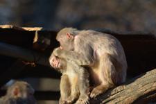 井の頭動物園のアカゲザルの画像002