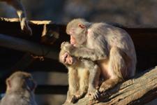 井の頭動物園のアカゲザルの画像003