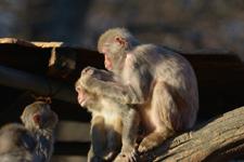井の頭動物園のアカゲザルの画像004