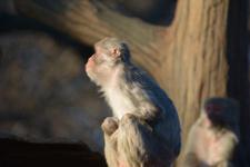 井の頭動物園のアカゲザルの画像005