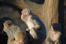 井の頭動物園のアカゲザルの画像006